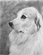 Cuddly Drawings Prints - Great Pyrenees in Profile Drawing Print by Kate Sumners