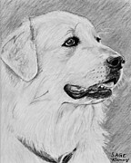 Akc Drawings Framed Prints - Great Pyrenees in Profile Framed Print by Kate Sumners
