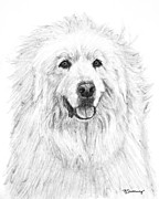 Cuddly Drawings Prints - Great Pyrenees Study Print by Kate Sumners