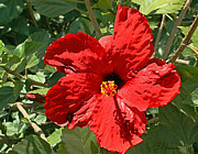 Great Outdoors Painting Posters - Great Red Hibiscus Poster by Ellen Henneke