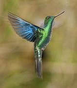 Great Sapphirewing Hummingbird Print by Dan Suzio