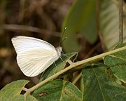 Tree Creature Prints - Great Southern White Butterfly Print by Rudy Umans