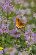 Gregory K Scott - Great Spangled Fritillary