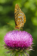 Great Pyrography Posters - Great Spangled Fritillary Poster by Yasar Ugurlu
