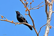 Susan Wiedmann Metal Prints - Great-Tailed Grackle on a Sunny Spring Day Metal Print by Susan Wiedmann