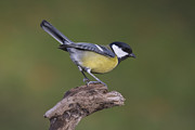 Great Pyrography Framed Prints - Great Tit  Framed Print by Maurizio Bacciarini