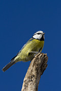 Great Pyrography Posters - Great tit on blue Poster by Maurizio Bacciarini