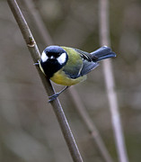 Simon West - Great Tit