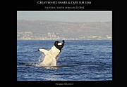 White Shark Prints - Great White and Seal Print by William Buchheit