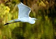 Sabrina L Ryan - Great White Egret at Sunset