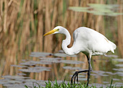 Egret Metal Prints - Great White Egret by the River Metal Print by Sabrina L Ryan