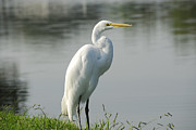 Great White Egret Print by Charles Beeler