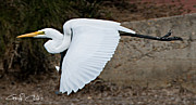 Nature Study Posters - Great White Egret Poster by Geoff Childs