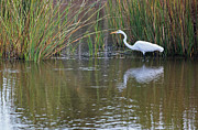 Low Country Scene Posters - Great White Egret II Poster by Suzanne Gaff