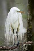 Bird Rookery Swamp Posters - Great White Egret in Mating Plumage Poster by Bonnie Barry