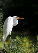 Jupiter Photo Posters - Great White Egret in the Tree Poster by Sabrina L Ryan