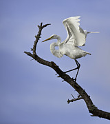 Jack Nevitt - Great White Egret in Tree