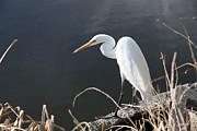 Great White Egret Print by Juan Romagosa
