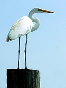 Kathleen Photos - Great White Egret by Kathleen Struckle