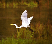 Marilyn Giannuzzi - Great White Egret