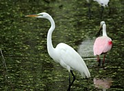 Great White Egret Print by Theresa Willingham
