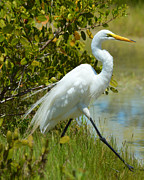 Sheila Price - Great White Egret Walking