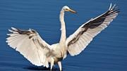 Thomas Photography  Thomas - Great White Egret Wings