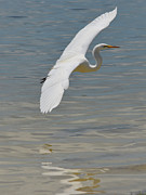 Sheila Price - Great White Egret...