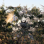 Great White Heron With Chicks Print by Rosalie Scanlon