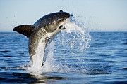 False Power Prints - Great White Shark Leaping Print by Stephen Belcher