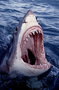 Carcharias Posters - Great White Shark lunging out of the ocean with mouth open showing teeth Poster by Brandon Cole
