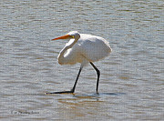 Tom Janca - Greater Egret Odd Poses