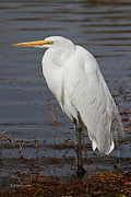 Tom Janca - Greater Egret Waits