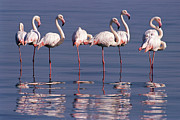 Greater Flamingo Prints - Greater Flamingo Group Print by Michael and Patricia Fogden