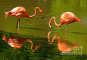 Greater Flamingo Framed Prints - Greater Flamingos Framed Print by Millard H. Sharp