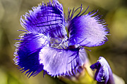 Greater Fringed Gentian Print by Teresa Zieba