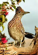 Roadrunner Framed Prints - Greater Roadrunner Framed Print by David Salter