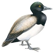 Birds Drawings - Greater scaup by Anonymous