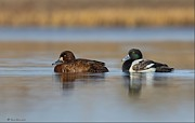 Daniel Behm - Greater Scaup Pair