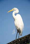 Beautiful Landing Prints - Greater White Egret Print by Chris Thaxter