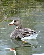 Pond Photos - Greater White-fronted Goose by Carol R Montoya