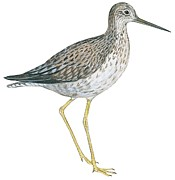 Close-up Drawings Framed Prints - Greater yellowlegs  Framed Print by Anonymous