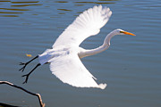 Greet Prints - Greeat Egret Flying Print by Thomas Marchessault