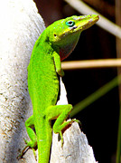 Green Anolis 1 Print by Sheri McLeroy