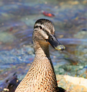 Acrylic Artwor Prints - Green Beak Duck Print by Marcia Fontes Photography
