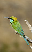 Beak Pyrography Metal Prints - Green bee-eater Metal Print by Sushrutha Dissanayake