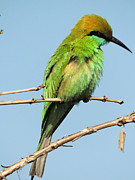 Waiting Pyrography - Green bee eater waiting for meal by Ramesh Chand