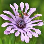 Purple And Green Posters - Green Bee with Pollen Poster by Carol Groenen