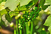 Green Berries Print by Kaye Menner
