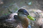 Green-billed Duck Print by John Hoey